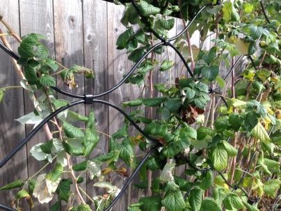 Raspberry Trellis detail - 9' W x 5' H